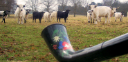 White Park Cattle are drawn to the sound of the alphorn