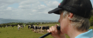 A herd of Holsteins approach from another field at the sound of the alphorn